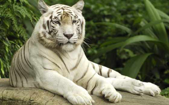 тигр, кб, white