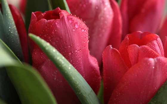 макро, цветы, drop, тюльпан, water,