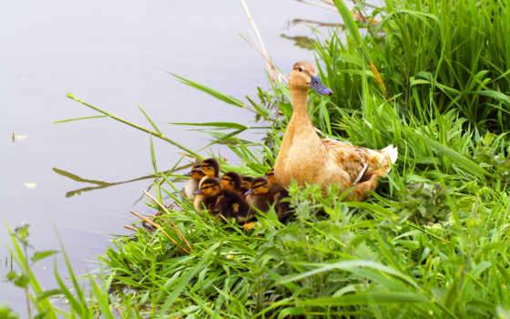 állatkölyök, ducklings, птица, орлан, free, madárfióka, alcatel, биг,