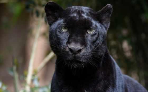 пантера, leopardo, negro