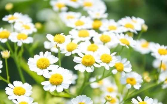 flowers, white, ромашка, daisy, daisies,