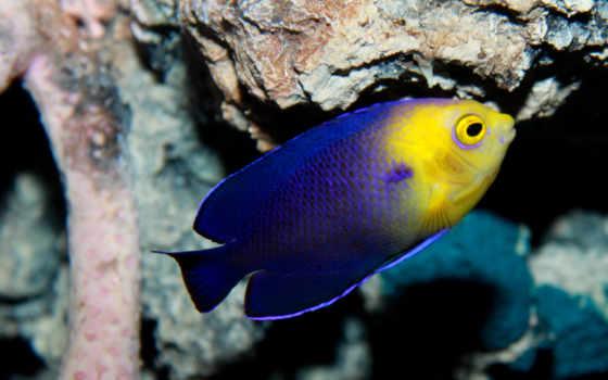 peixes, peixe, marinho, marinhos, mais, anjo, muito, centropyge, territoriais, são, dos, que,