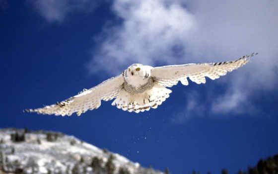 сова, совы, белой, полярная,