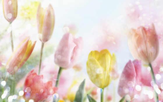 цветы, тюльпаны, ромашки