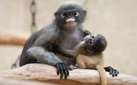 обезьяна, очковый, тонкотел