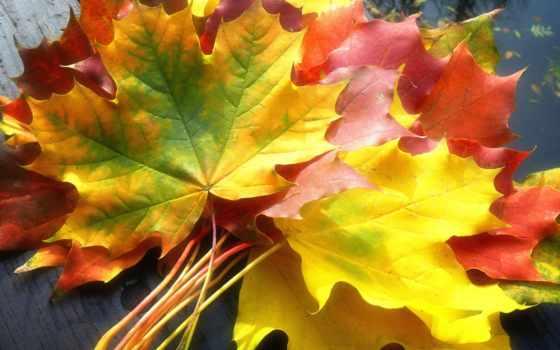листва, осень, осенние, листьев, осенью, maple, осенних, природа, огурцы,
