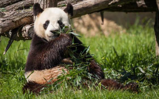 панда, бамбук, медведь, трава, browse,