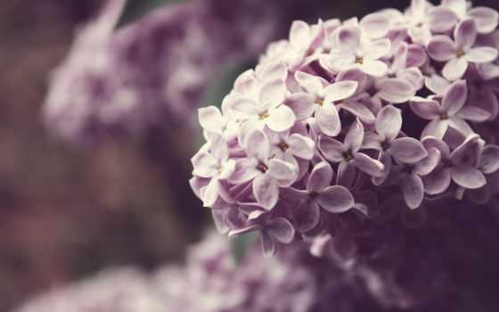 сиреневый, cvety, branch, макро, широкоформатные, color, весна, природа,