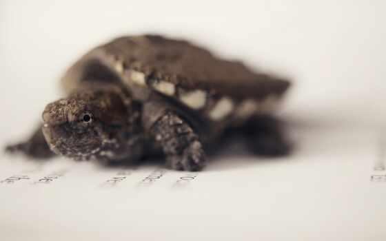черепаха, другой, морской, черепаха, kachestvennyi, razmer, животное, razreshenie, snap, common, скачат