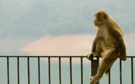 обезьяна, сидит, обезьяны