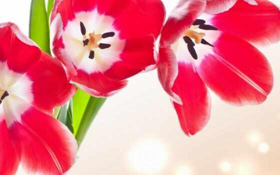 тюльпаны, cvety, kartinka