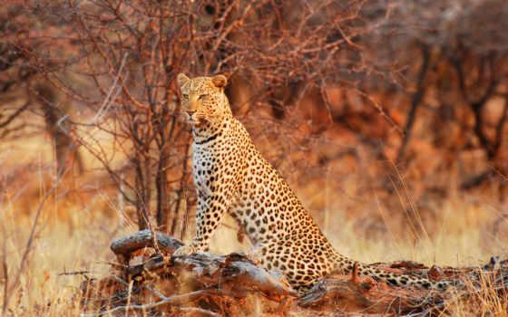леопард, zhivotnye, дикая