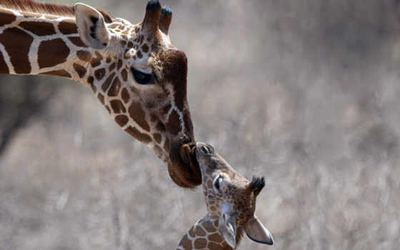 жираф, голова, animals