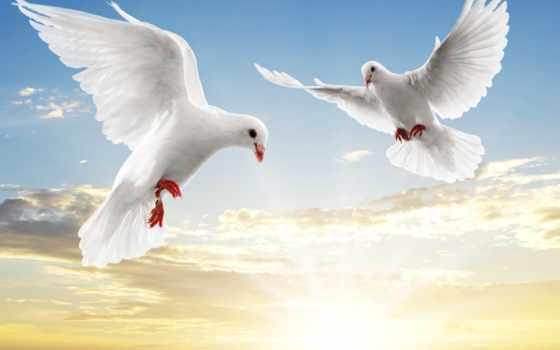 голубь, white, голуби