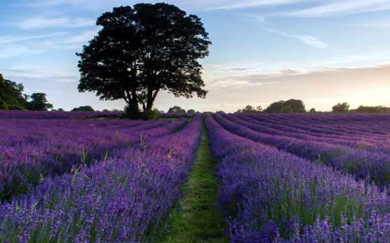 lavender, free,