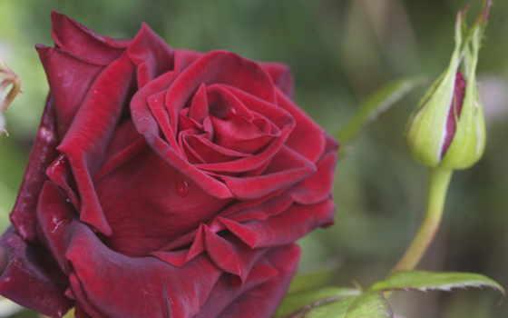 роза, бутон, лепестки, макро, роса, капли, красная, цветы,