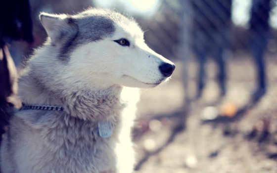 хаски, собака, взгляд, морда, щенок, zhivotnye, широкоформатные, высоком, siberian,