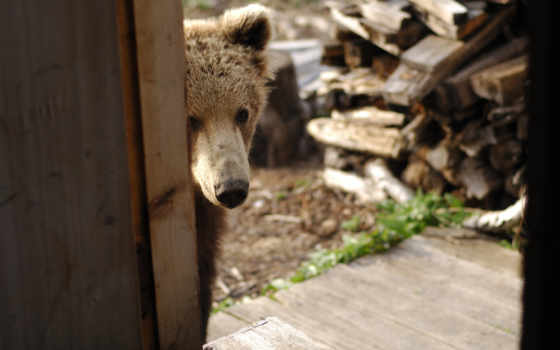 медведь, animals, bears, wild, posts, animal, au,
