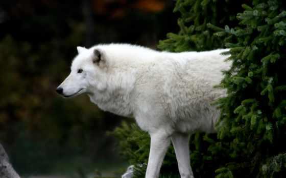 волк, polar, обитает, регионов, полярных, пространствах, обширных, месяцев, которые, пережить, погружены,