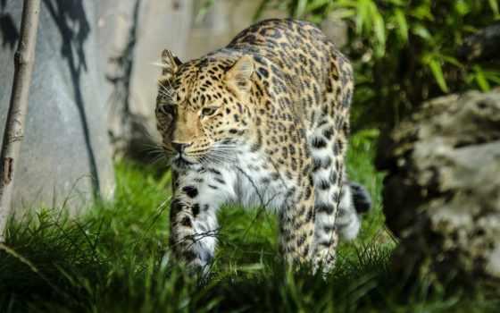 леопард, идущий по траве
