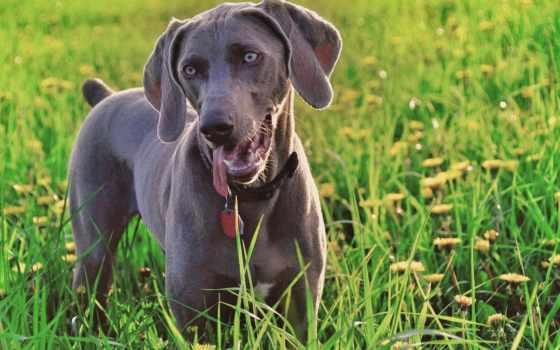 трава, собака