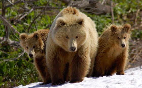 медведь, бурый, медведи