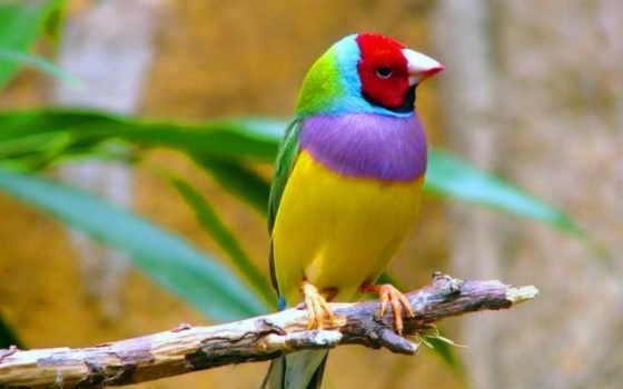 птиц, amadina, və