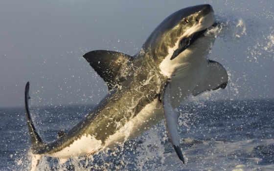 акулы, против, дельфинов, белой, касатка, общества, известно, предпочитают, avoid, задолго, статью,