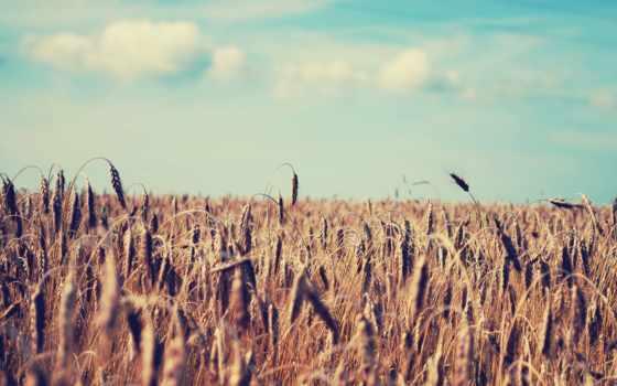 пшеница, поле, summer, природа, небо, колосья,