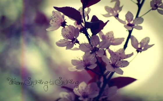 pantalla, cerezo, flores, fondos, primavera, fondo, макро, del,