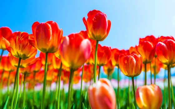 flowers, тюльпан, янв,