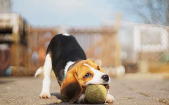 собака, biglit, play, мяч, порода, биг, animal, щенок, дар