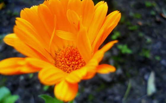 разделе, cvety, ораньжевый