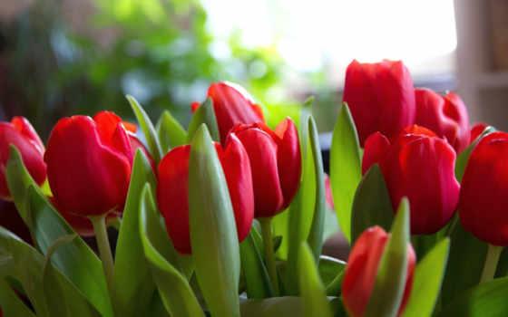 flowers, март, тюльпаны