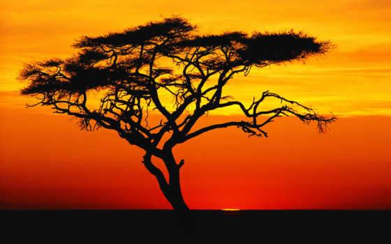 african, acacia, закате, природа, trees, закат,