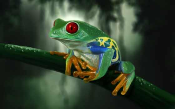 grenouille, ecran, fonds, sur, fond, изображение, animaux, yeux, rosée, rouges, votre,