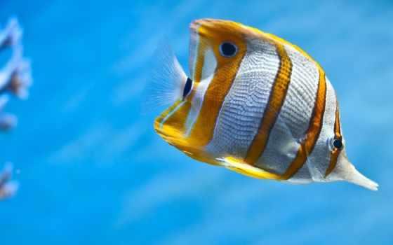 world, fish, underwater, полосатая, морская,