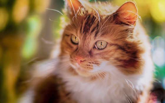 cats, кот, кошки, телефон, added, взгляд, порода, морда,