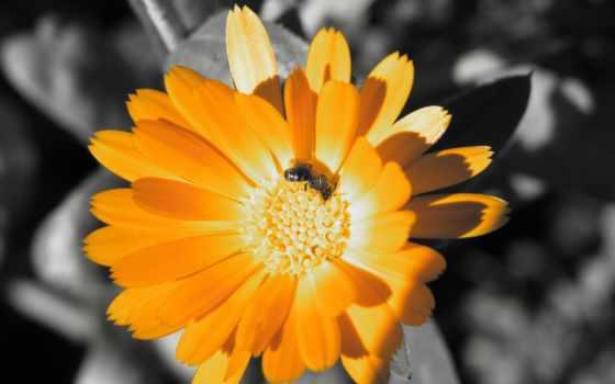 пчела, календуле