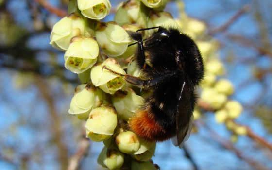 bumblebee, насекомое, макро, цветы, весна, насекомые, пушистый, желтые,