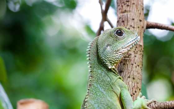 ящер, iguana, зелёная