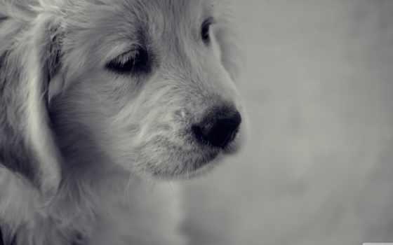 black, white, щенок, print, грустный, картинка, framed, dogs, плакат, собака,