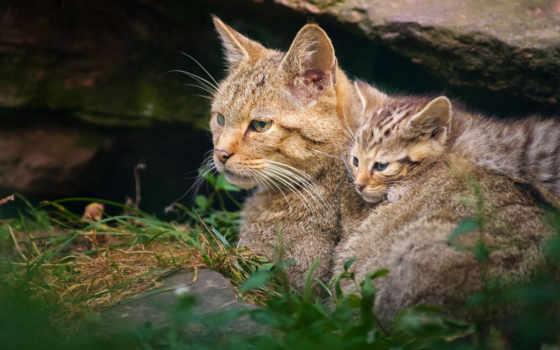 кот, дикая, котенок, котёнком, дикие, рысь, zhivotnye, зверей, king, коты, кошки,