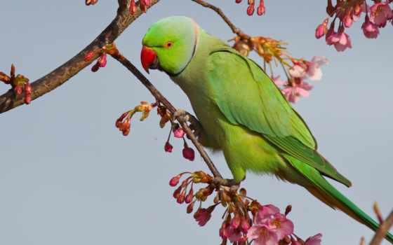 попугай, iphone, Сакура, ветви, apple, цветение, зелёный, ios,