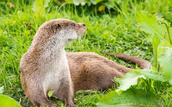 otter, animal, free, выдры, фон, изображение,