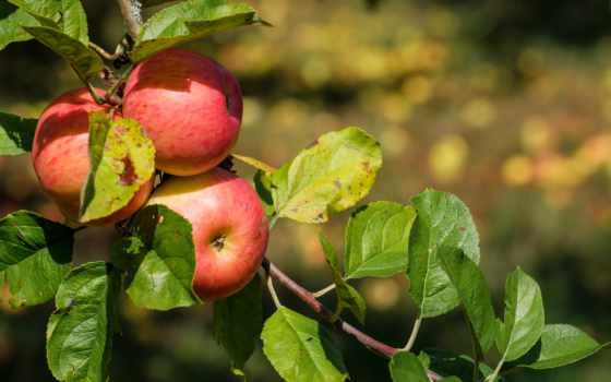 public, domain, usa, дерево, home, плод