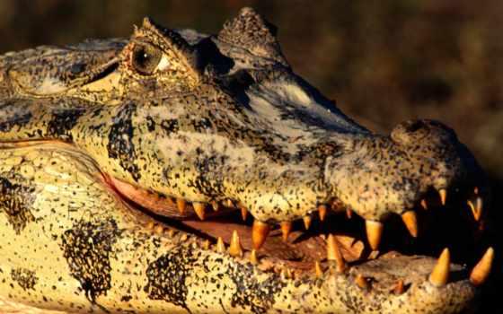 zhivotnye, крокодил, заставки