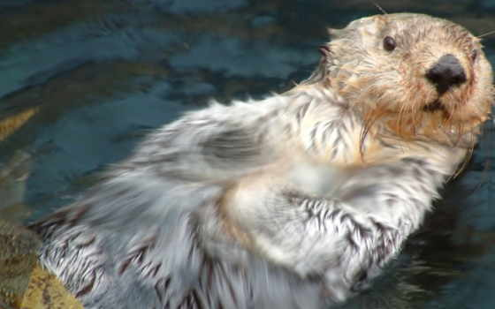 otter, water, wet, морда, фото, лес
