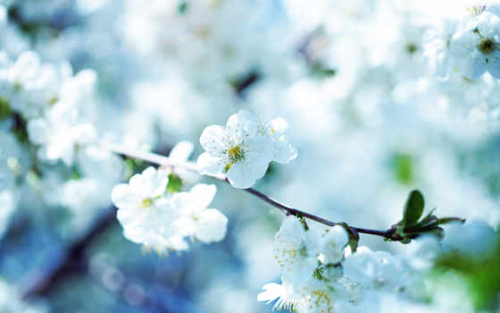 весна, весной, вишневая, branch, картинку, apple, цветущая, цветы, саду, разделе,