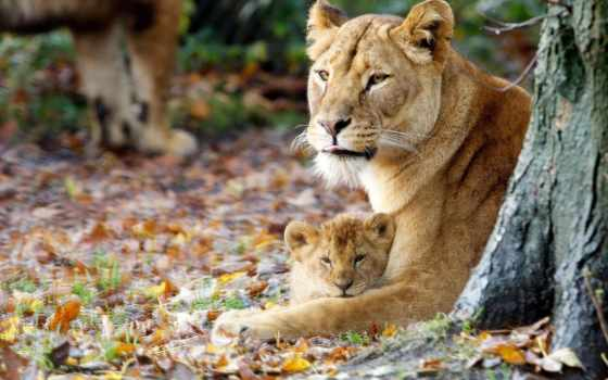 львица, львенок, lion